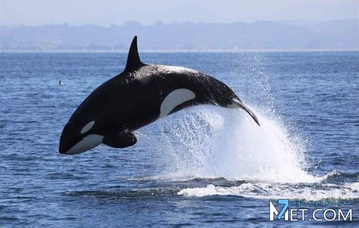 تفسير رؤية الحوت في المنام