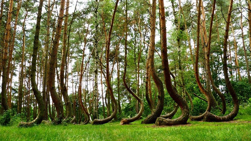 الغابات الملتوية – بولندا