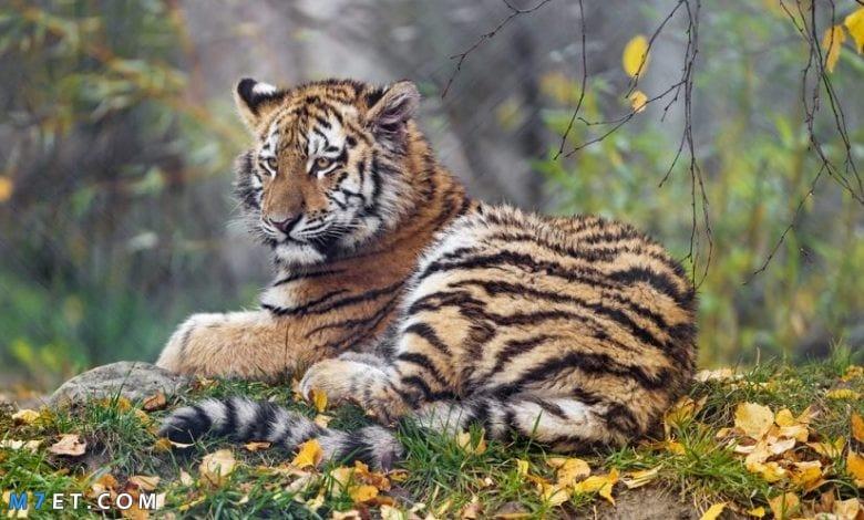 تفسير رؤية النمور في المنام