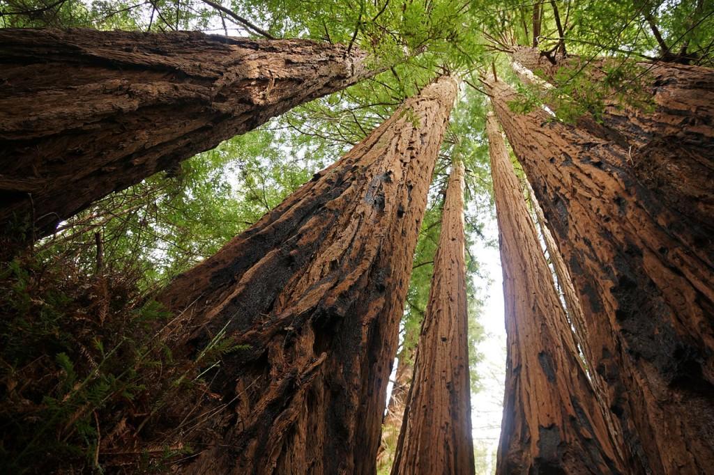 غابة النصب التذكاري سيكويا