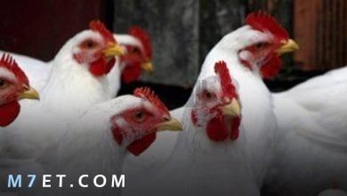 Photo of اسعار الدجاج اليوم في مصر