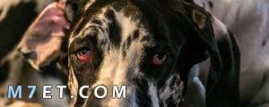 علاج الجفن الثالث عند الكلاب