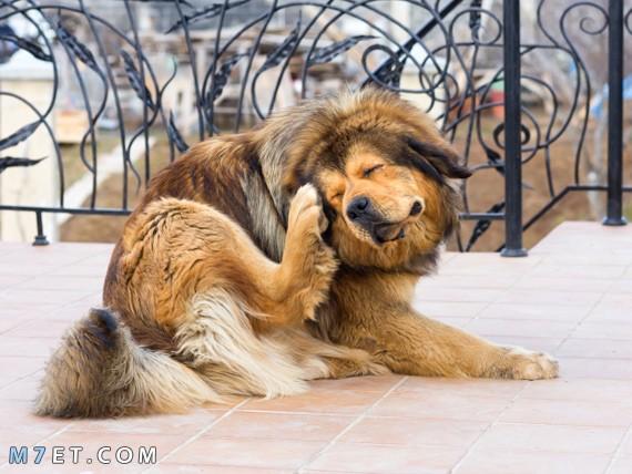 علاج حشرة القراد في الكلاب