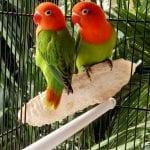طريقة تربية عصافير فيشرد