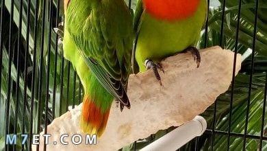 Photo of طريقة تربية عصافير فيشرد