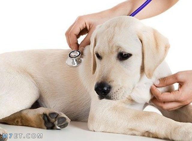 علاج براغيث الكلاب