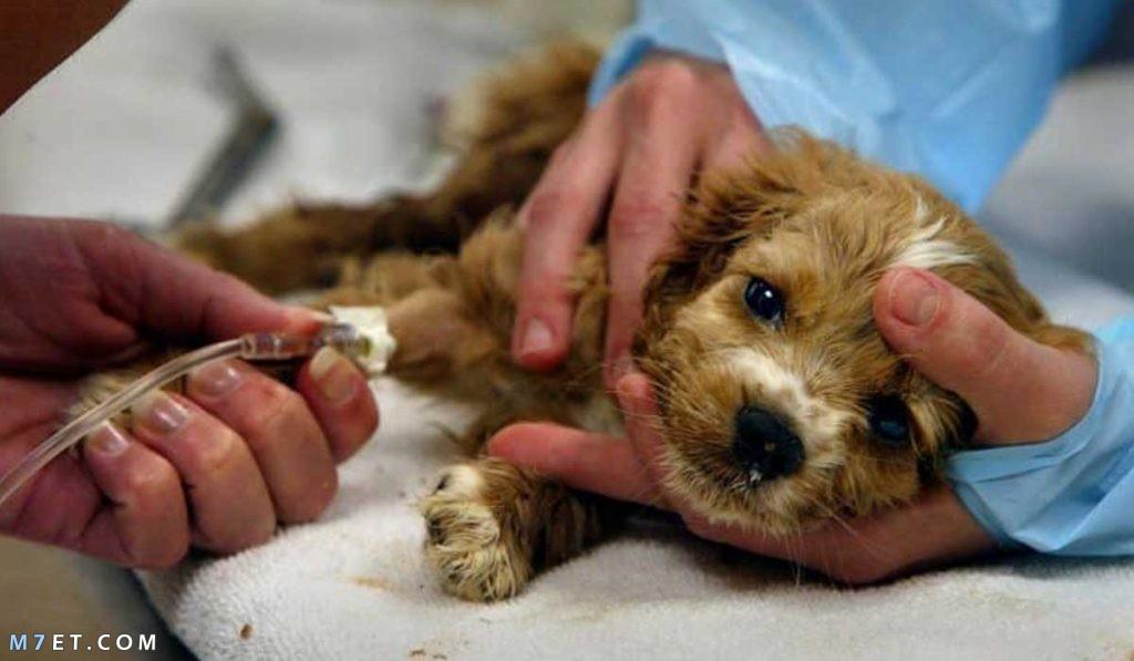 علاج مرض البارفو للكلاب