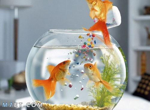 كيفية إطعام أسماك الزينة
