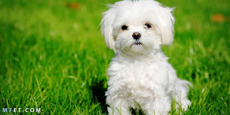 أنواع الكلاب المنزلية واسعارها