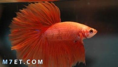 Photo of ما هي أشهر أنواع أسماك الزينة