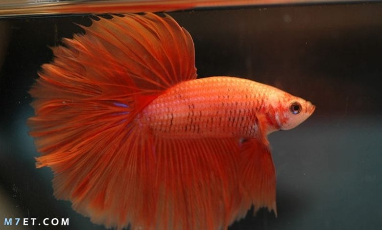 ما هي أشهر أنواع أسماك الزينة