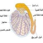 علاج دوالي الخصية بالطرق الطبيعية والجراحة