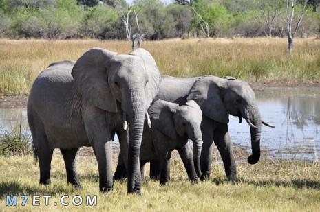 تفسير رؤية الفيل في المنام