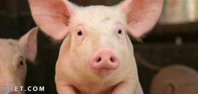 لماذا حرم الله لحم الخنزير