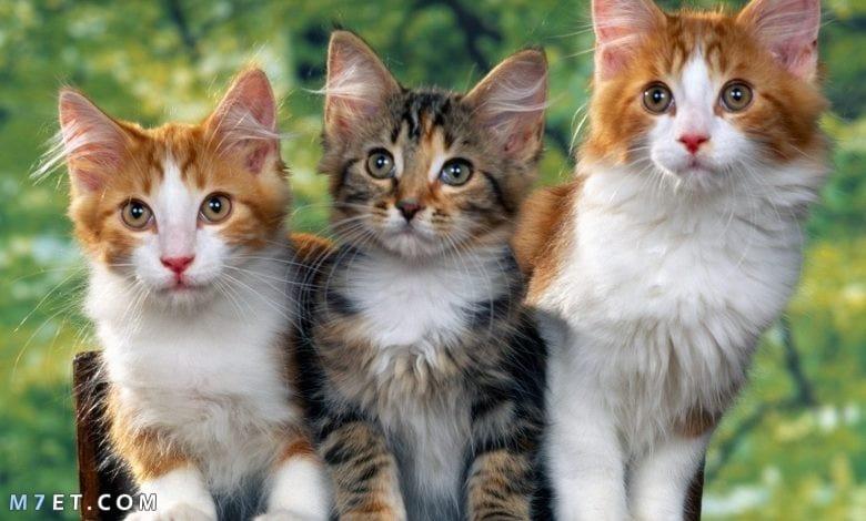 تفسير رؤية القطط في المنام للمتزوجة