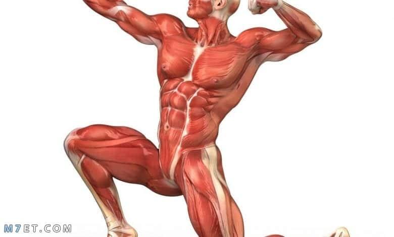 تعرف على اقوى عضلة في جسم الانسان ووظفيتها
