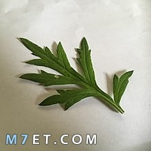 اين ينمو نبات الشيح ؟ وماهي استخداماته