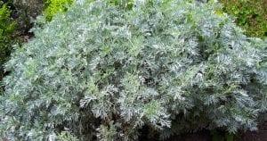 اين ينمو نبات الشيح ؟