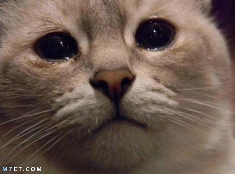 لماذا تبكي القطط ؟