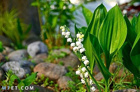 فوائد عشبة زنبق الوادي