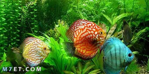 أشهر أنواع سمك الزينة