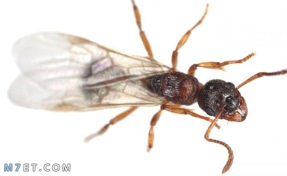 ظهور النمل