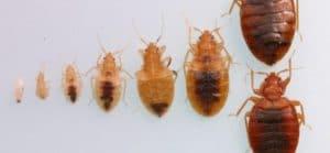 علامات تدل على وجود حشرة البق بالمنزل