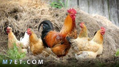 Photo of تربية الدجاج في المنزل