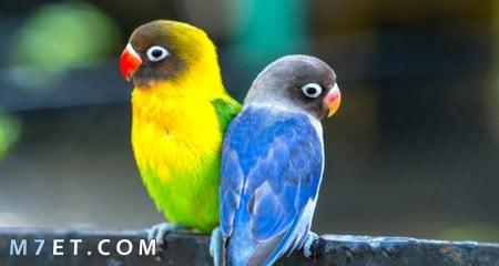 انواع طيور الزينة