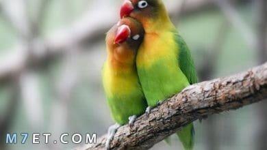 Photo of معلومات عن طيور الحب في المنزل