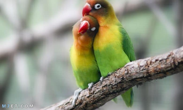 معلومات عن طيور الحب