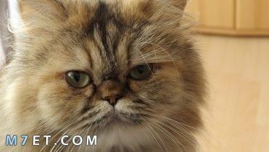 Photo of تربية القطط الشيرازي