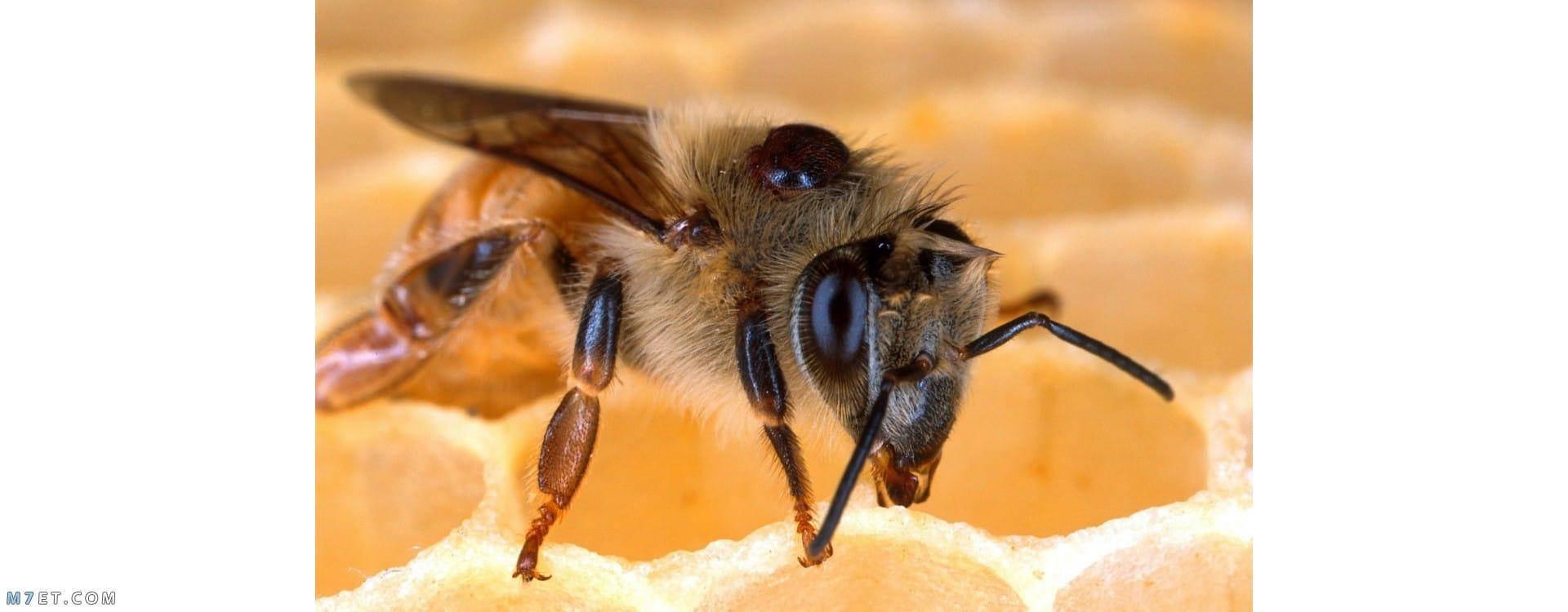 استخدام الزيوت للتخلص من النحل