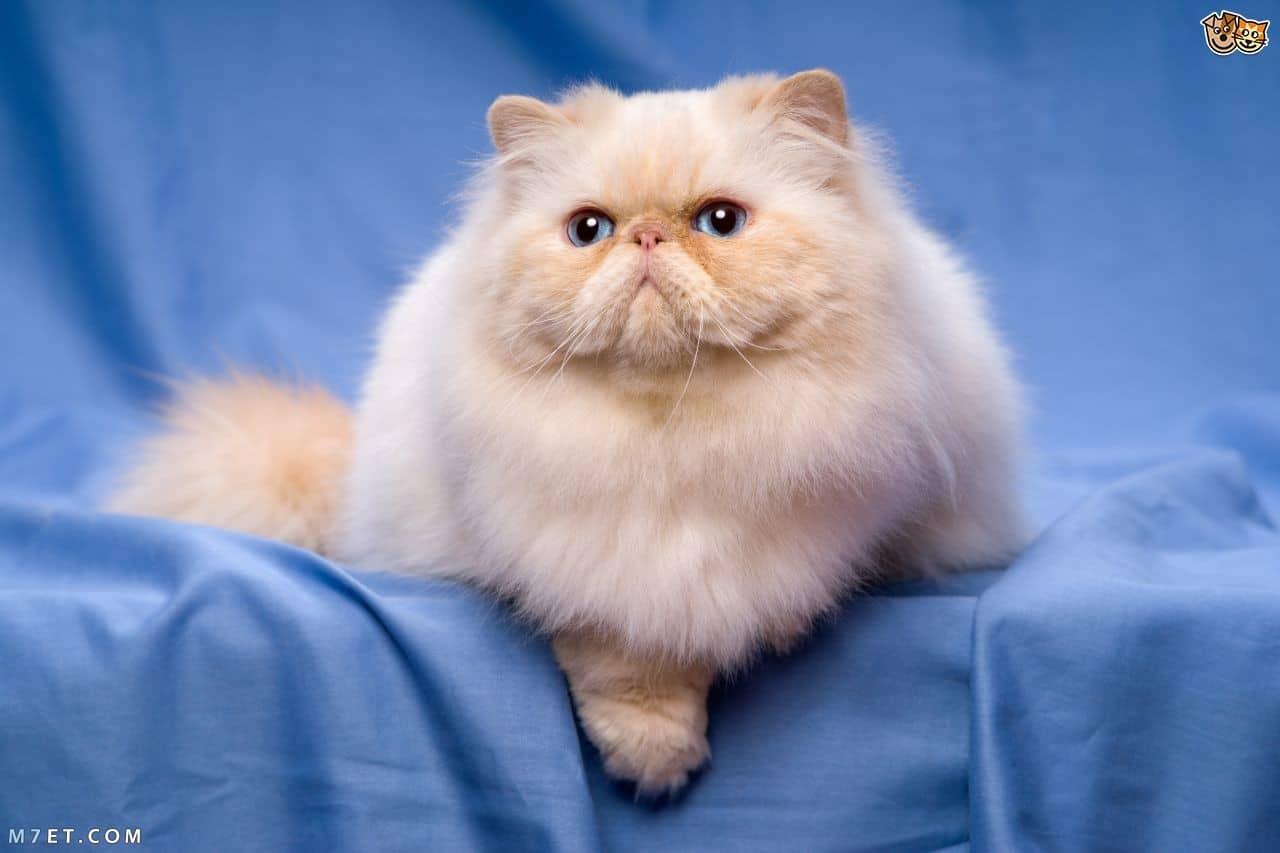 تربية القطط الشيرازي