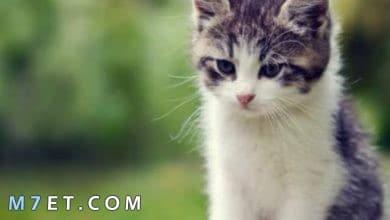 Photo of تفسير حلم قطة تلاحقني لابن سيرين