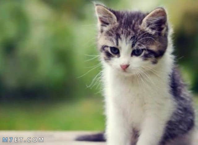تفسير حلم قطة تلاحقني لابن سيرين