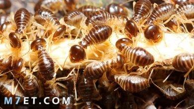 Photo of ظهور النمل الابيض في البيت أسبابه وعلاجه