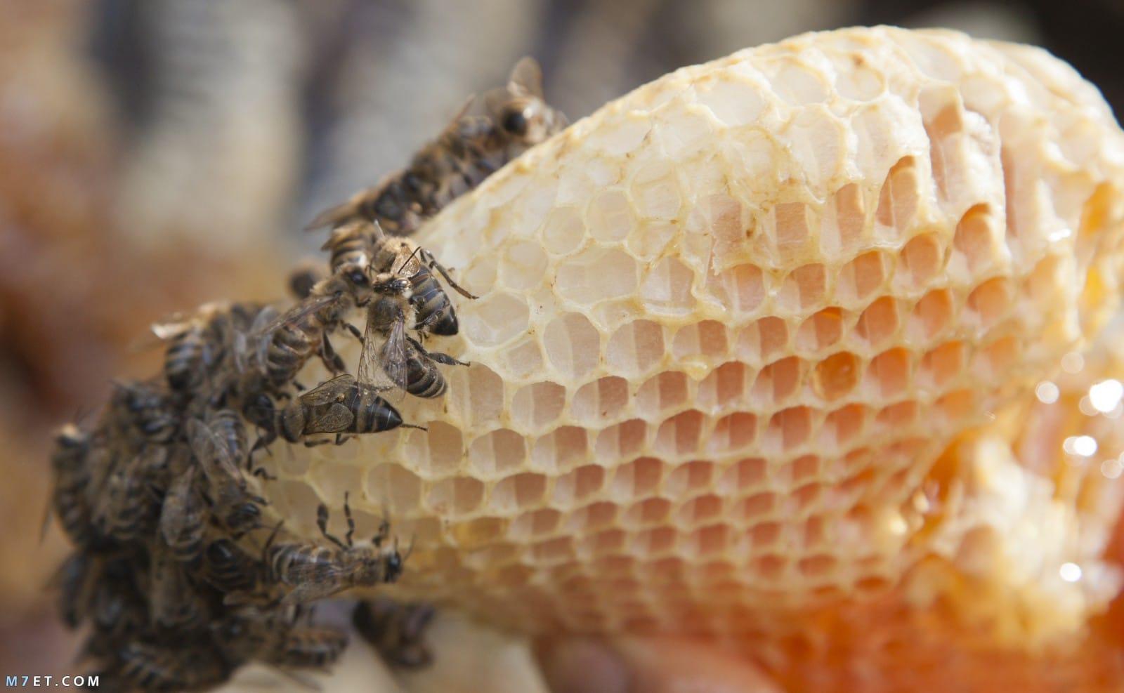 طريقة تربية النحل من الألف إلى الياء