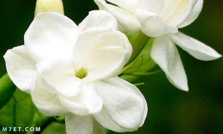 Jمعلومات عن زهرة الياسمين وماهي انواعهasmin flower