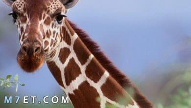 Photo of معلومات عن حيوان الزرافة للاطفال
