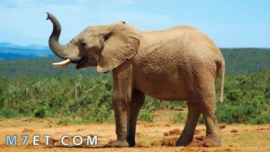 Photo of معلومات عن الفيل للاطفال
