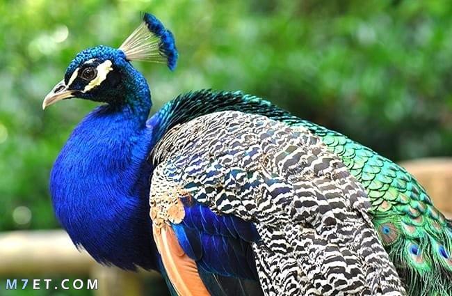 معلومات عن طائر الطاووس