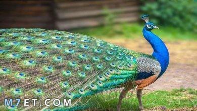 Photo of 10 معلومات عن طائر الطاووس