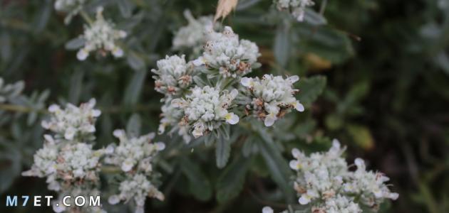 نبات الجعدة