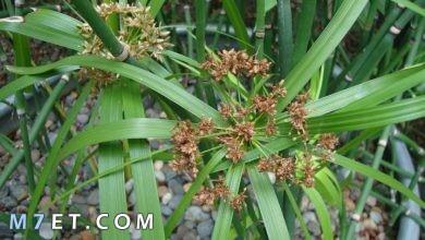 Photo of معلومات عن نبات السعد وطريقة استخدامه لازالة الشعر