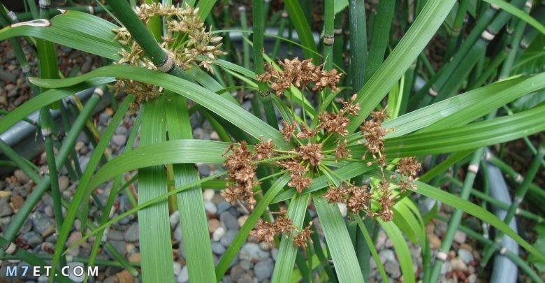 معلومات عن نبات السعد