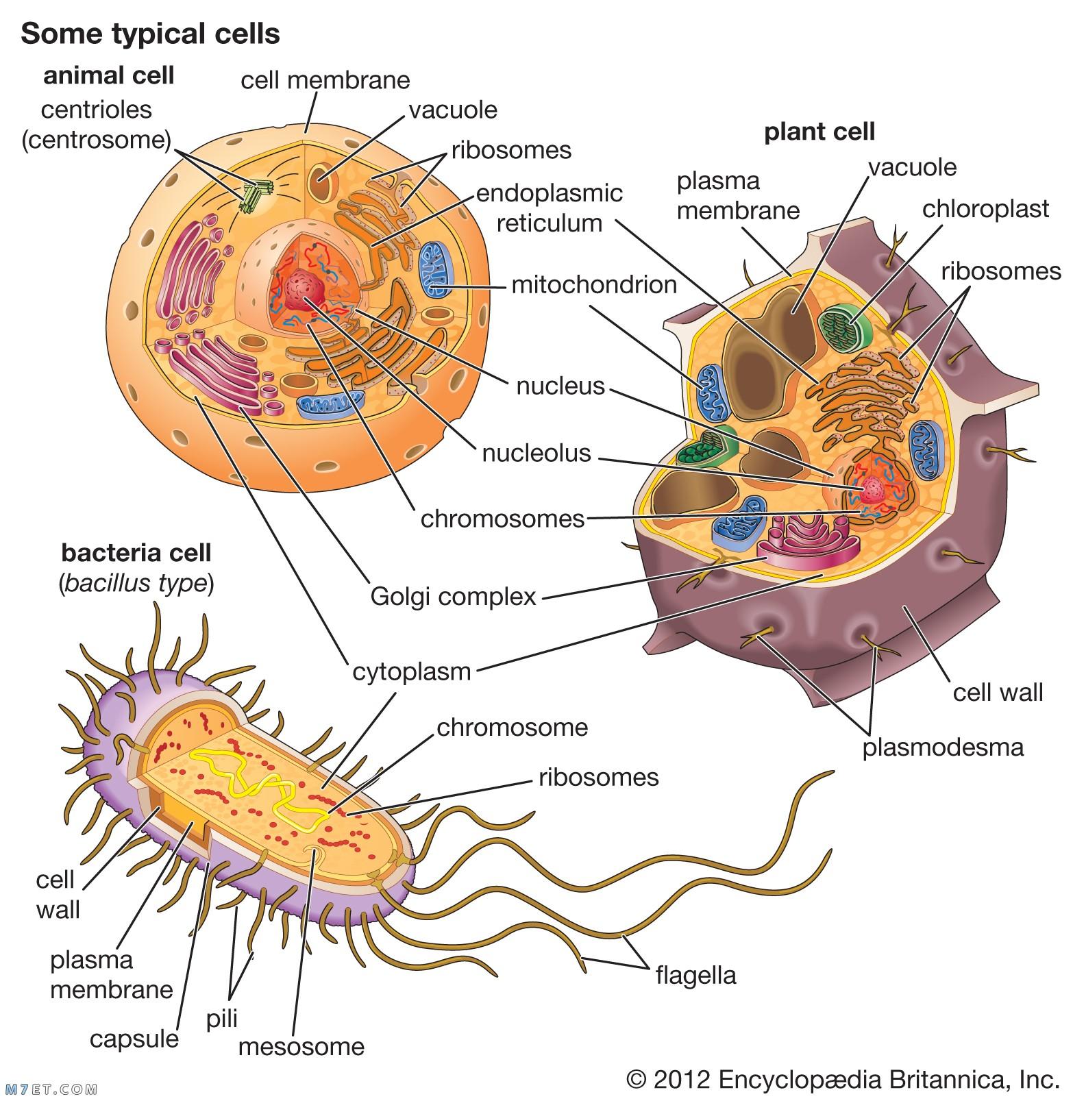 انواع الخلايا