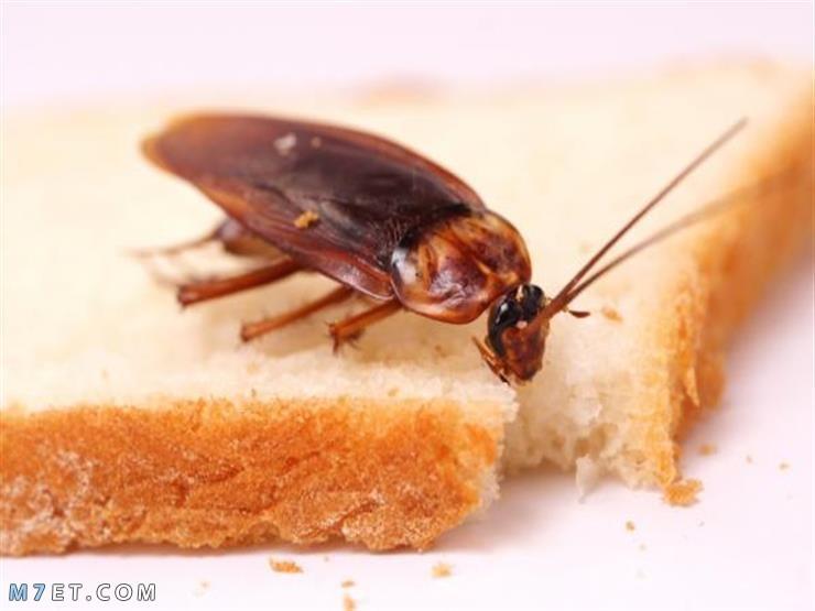 كيفية القضاء علي الصراصير بدون مبيدات