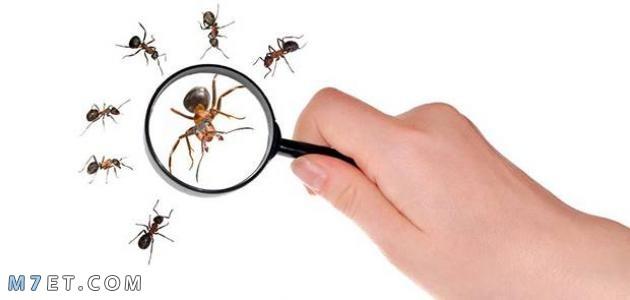 التخلص من النمل الصغير