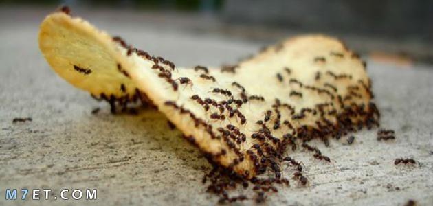 سبب وجود النمل في البيت